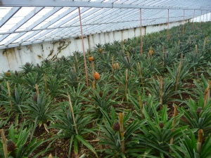 Pineapples growing in glasshouse - a local speciality.
