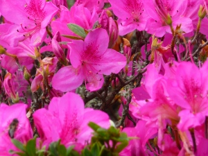 Stunning colour of the azaleas in January