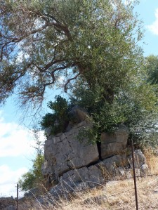 Hundreds of Years old Olive Tree Breaking Through the Rock