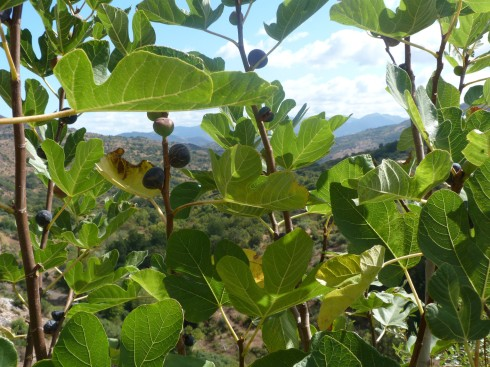Wild Figs by the Roadside 2 (2)