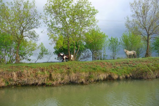 Wild Horses of the Camargue