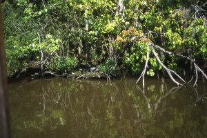 Crocodiles lurking on the Bayou