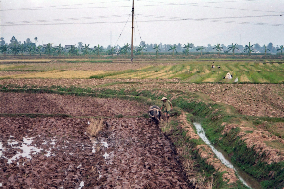Planting the green shoots of rice