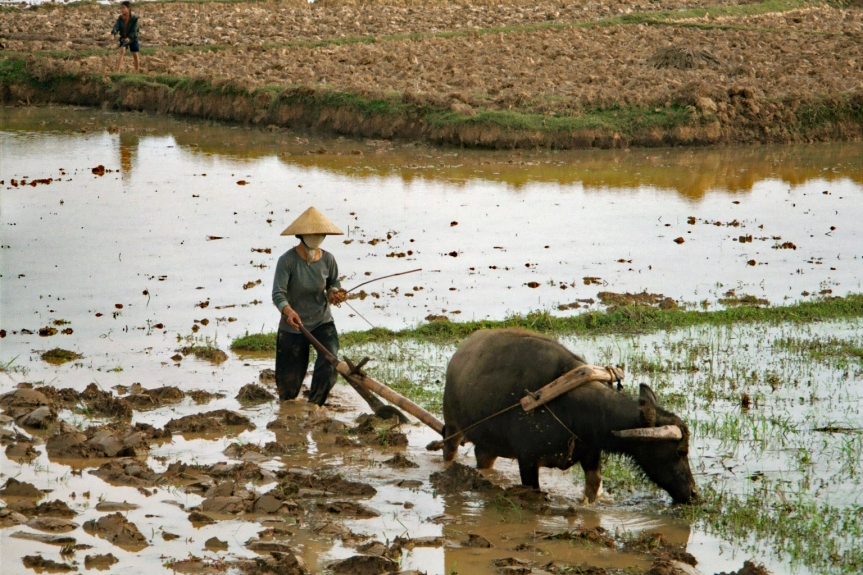 Ploughing the field for rice planting
