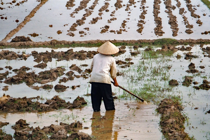 Preparing the ground for the delicate rice shoots
