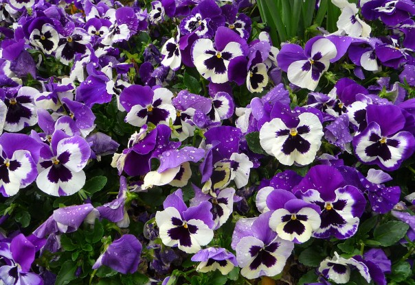 Pansies - after the rain.
