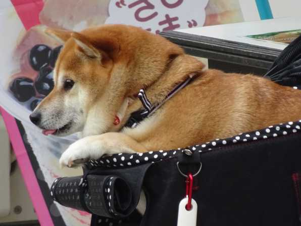 Dog in Pram, not unusual in Japan