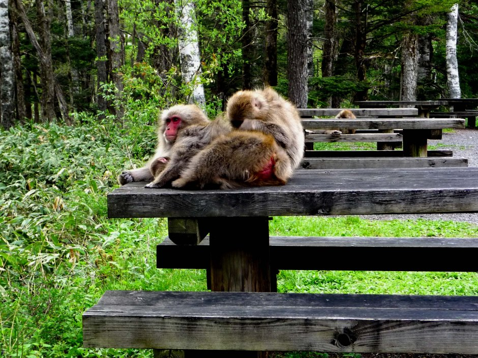 The Macaque takeover of the public tables and benches