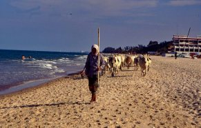 Cows are permitted to access the beach before 8 a.m. in Pranburi Province, Thailand - Mari Nicholson