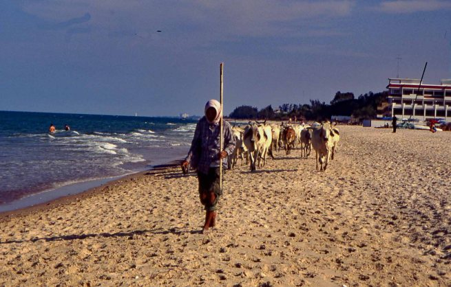 Cows are permitted to access the beach before 8 a.m. in Pranburi Province, Thailand - Mari Nicholson