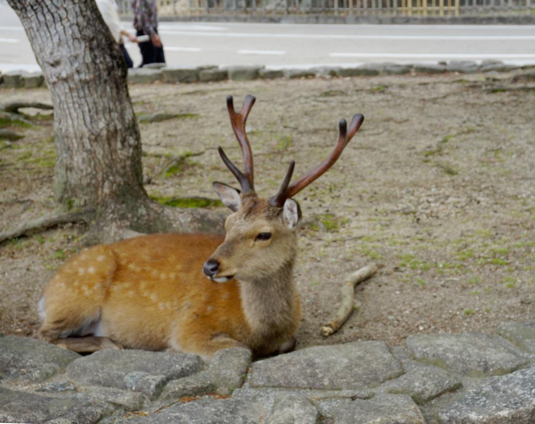 Deer in the centre of Miyajima