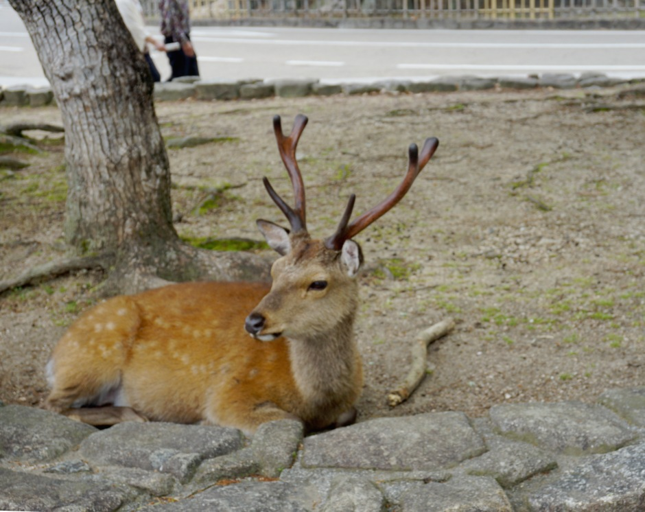 Deer in the centre of Miyajima