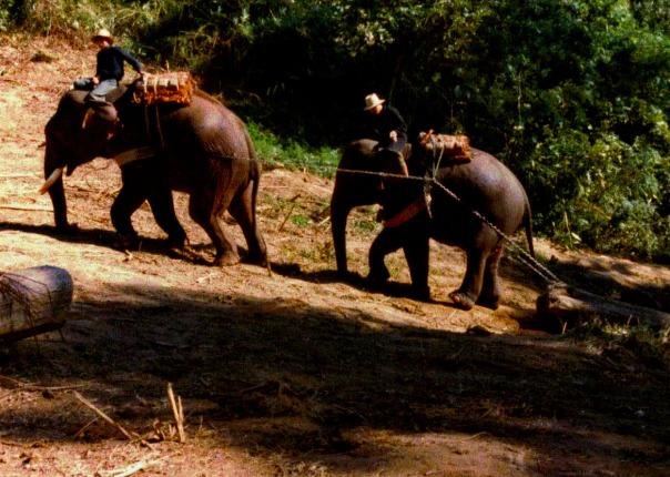 Elephants Hauling Teak, Chiang Mai Thailand copy