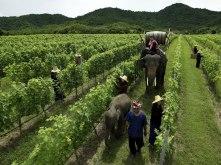 Hua Hin Winery with Elephants