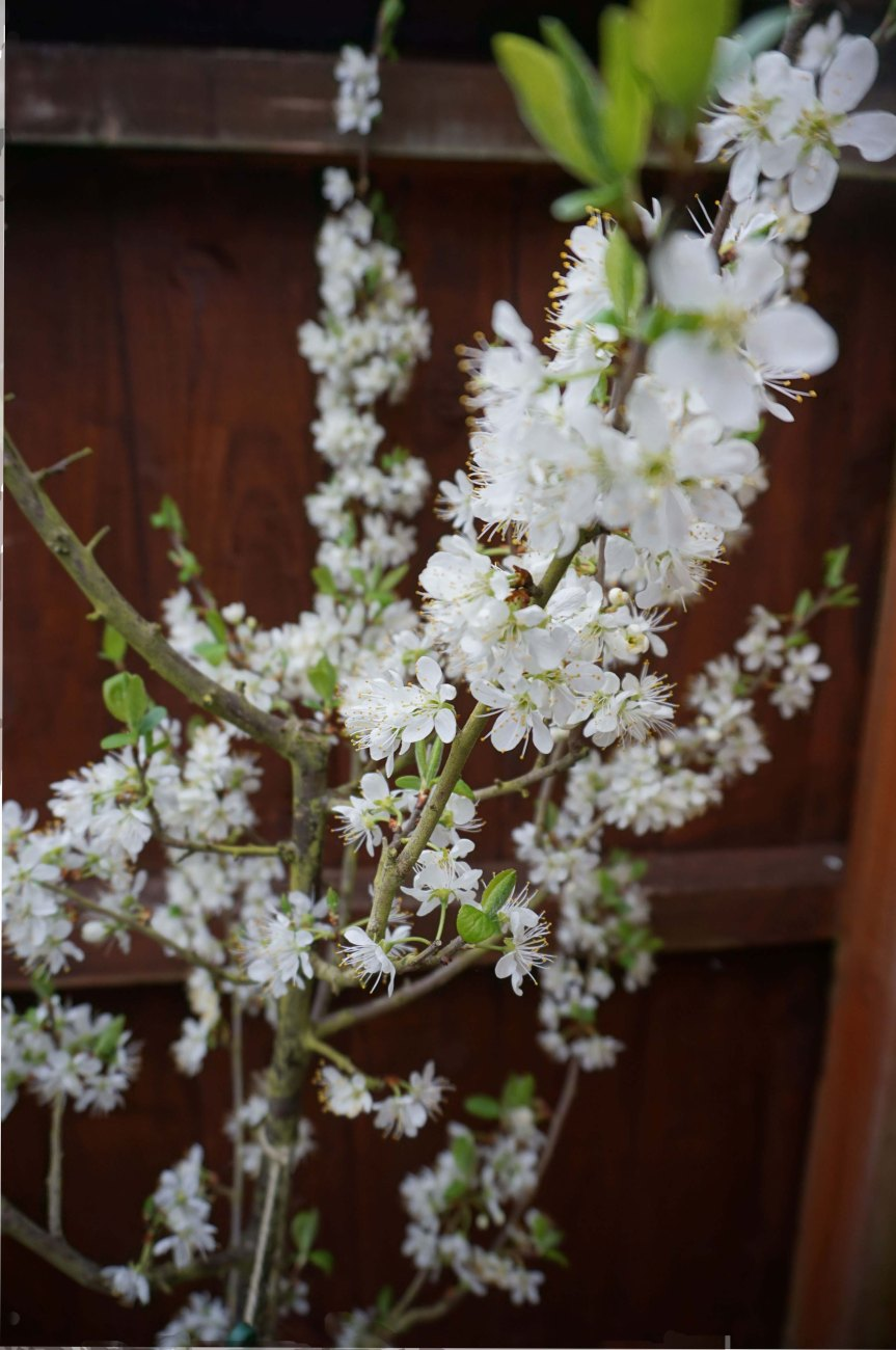 A-blossom-laden-branch-of-my-Damson-tree
