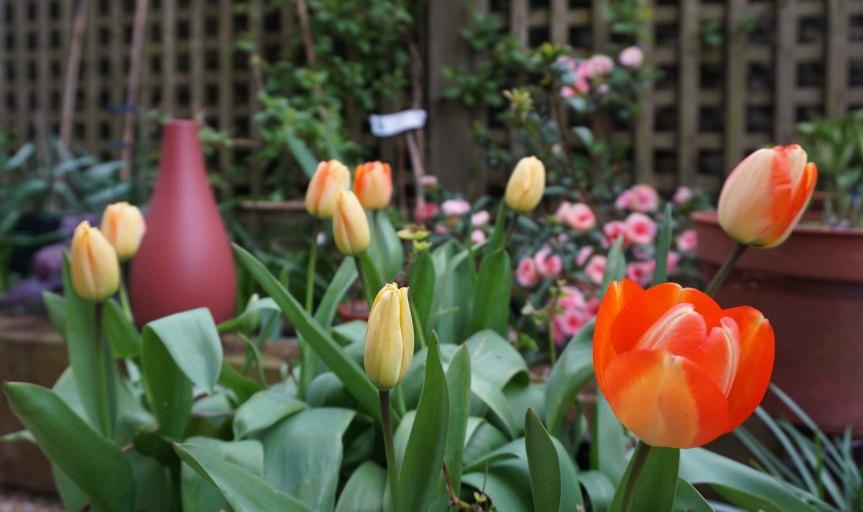 Tulips backed by a pink Azalea