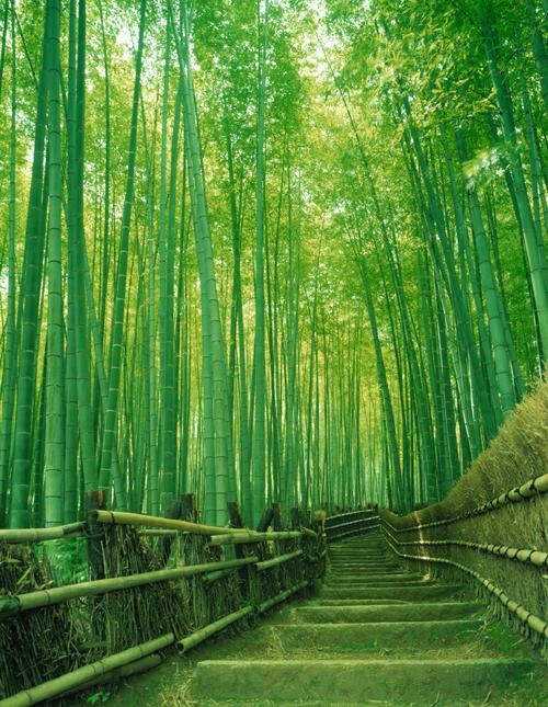 Bamboo-forest,-Arashiyama,- (2)