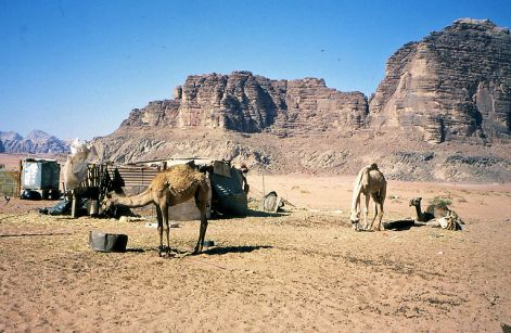 A desert encampment but these camels look undernourished - Copy