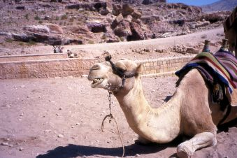 Camel 2 Laughing