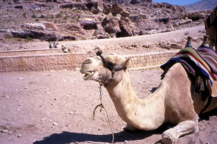 Camel 2 Laughing